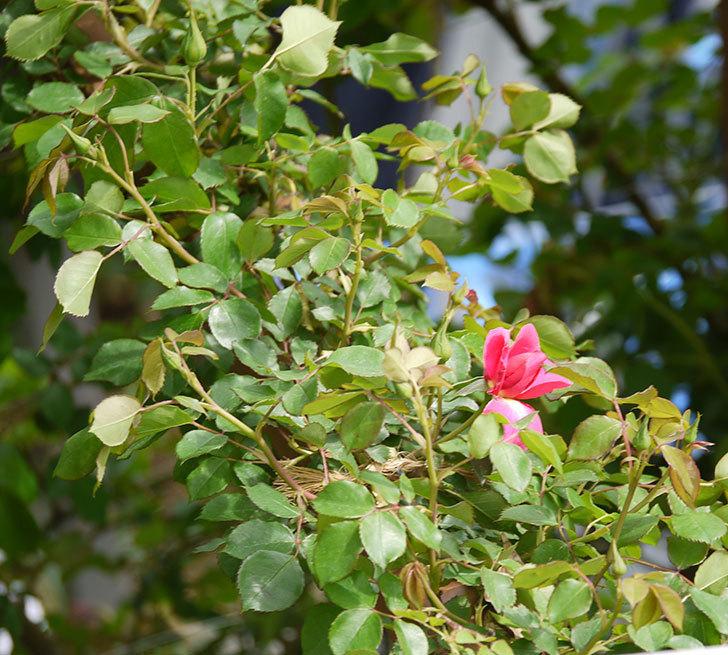 ツルうらら(ツルバラ)の花がぽつぽつと咲きだした。2018年-4.jpg