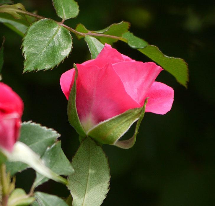 ツルうらら(ツルバラ)の花がぽつぽつと咲きだした。2018年-7.jpg