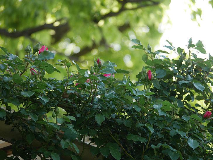 ツルうらら(ツルバラ)の花がまた咲きだした。2020年-11.jpg