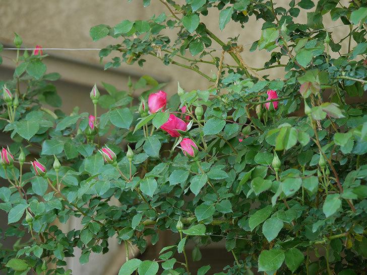 ツルうらら(ツルバラ)の花がまた咲きだした。2020年-14.jpg