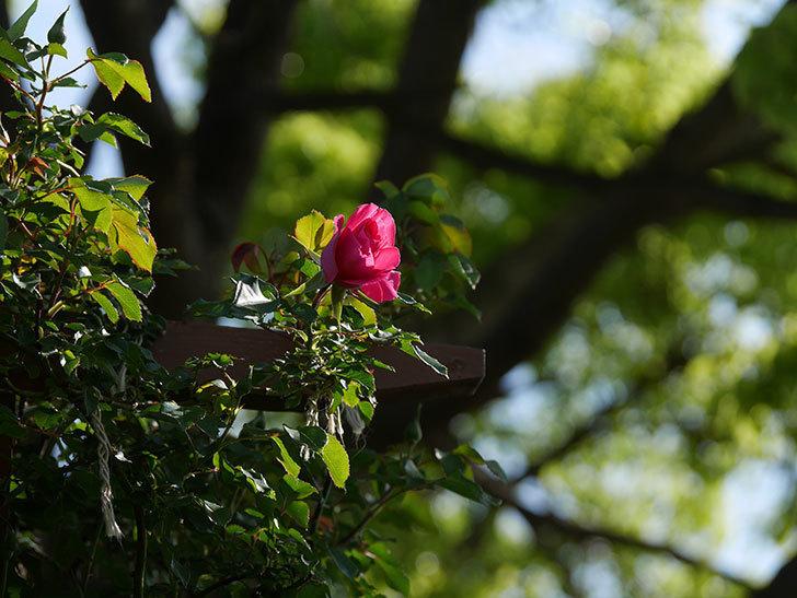 ツルうらら(ツルバラ)の花がまた咲きだした。2020年-16.jpg