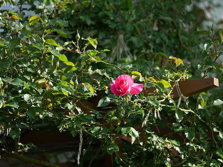 ツルうらら(ツルバラ)の花がまた咲きだした。2020年-18.jpg