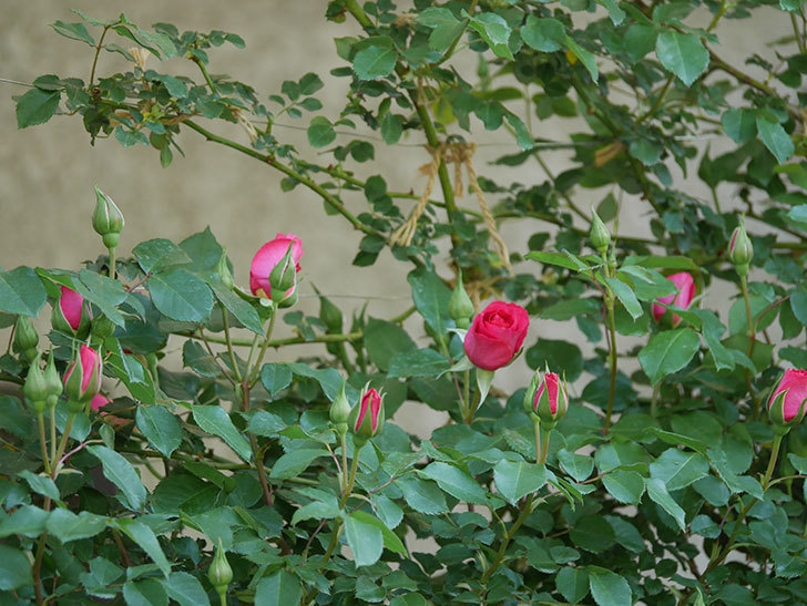 ツルうらら(ツルバラ)の花がまた咲きだした。2020年-4.jpg