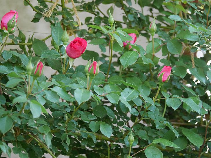 ツルうらら(ツルバラ)の花がまた咲きだした。2020年-8.jpg