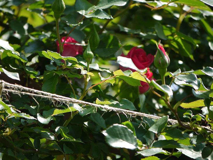 ツルうらら(ツルバラ)の花がまた増えてきた。2018年-5.jpg
