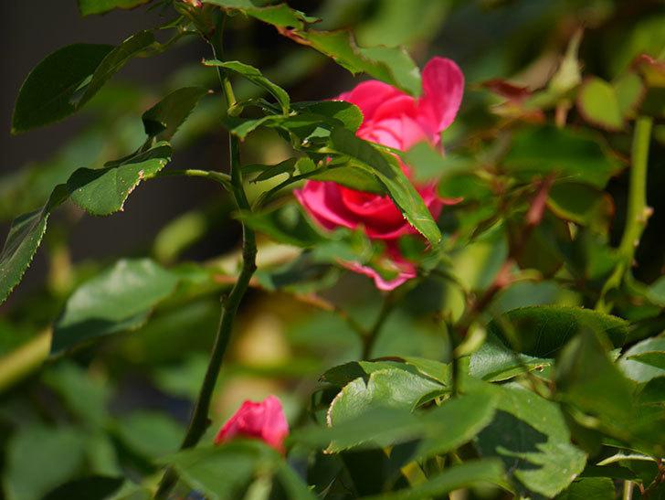 ツルうらら(ツルバラ)の花がまだ咲いている。2019年-2.jpg