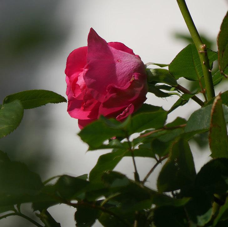 ツルうらら(ツルバラ)の花がまだ咲いている。2019年-4.jpg