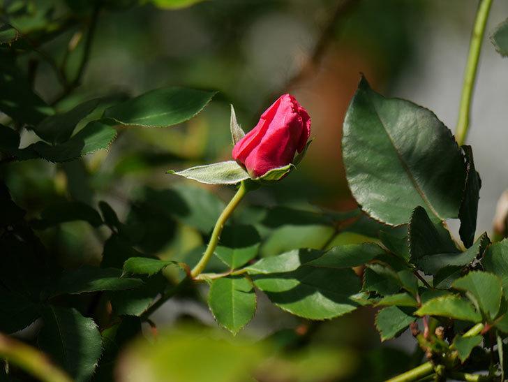 ツルうらら(ツルバラ)の花がまだ咲いている。2019年-5.jpg