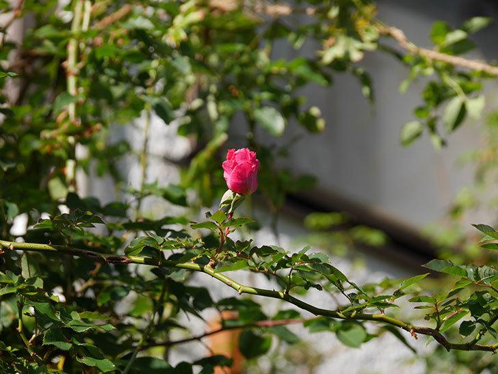 ツルうらら(ツルバラ)の花がまだ咲いている。2019年-6.jpg