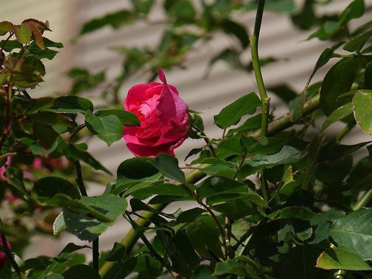 ツルうらら(ツルバラ)の花がまだ咲いている。2019年-7.jpg