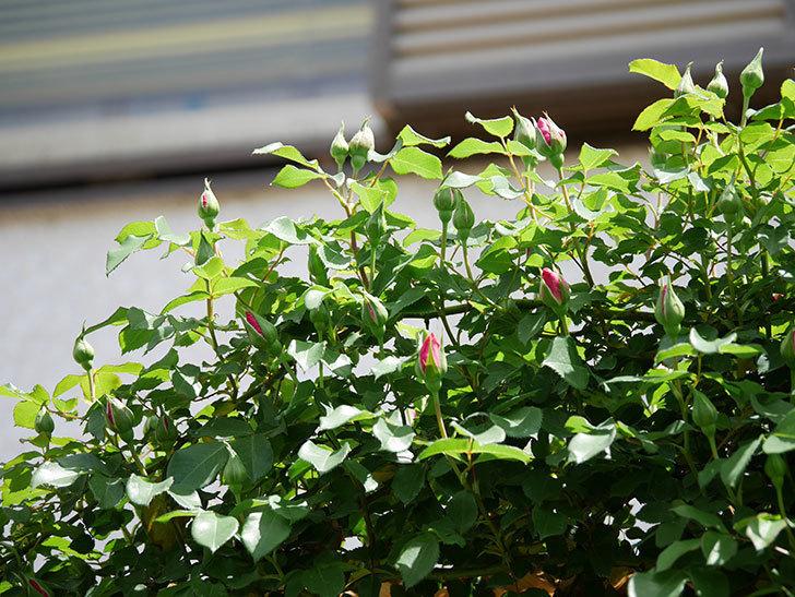 ツルうらら(ツルバラ)の花がポツポツ咲きだした。2019年-11.jpg