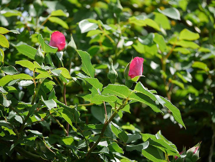 ツルうらら(ツルバラ)の花がポツポツ咲きだした。2019年-13.jpg