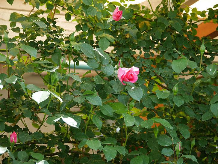 ツルうらら(ツルバラ)の花がポツポツ咲きだした。2019年-2.jpg