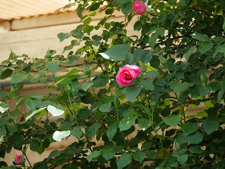 ツルうらら(ツルバラ)の花がポツポツ咲きだした。2019年-8.jpg