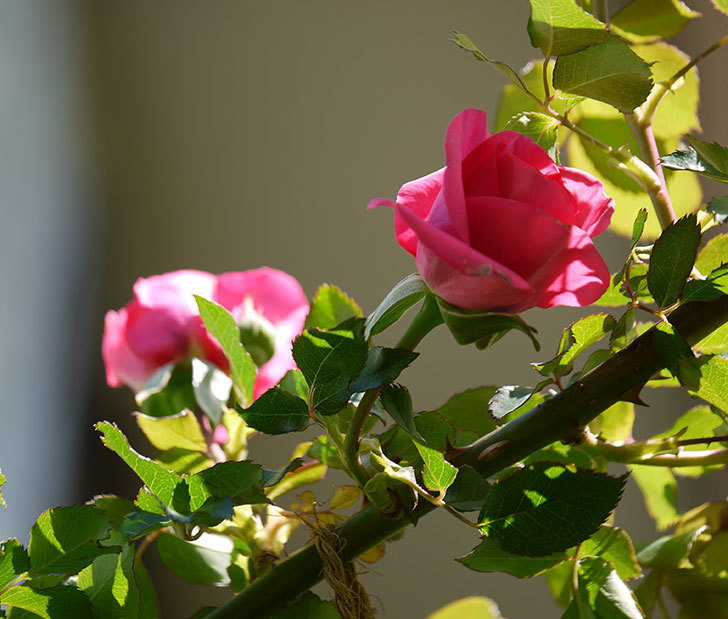 ツルうらら(ツルバラ)の花が下の方でも咲きだした。2018年-1.jpg