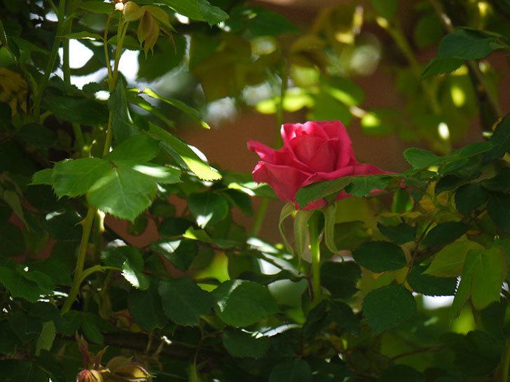ツルうらら(ツルバラ)の花が下の方でも咲きだした。2018年-10.jpg