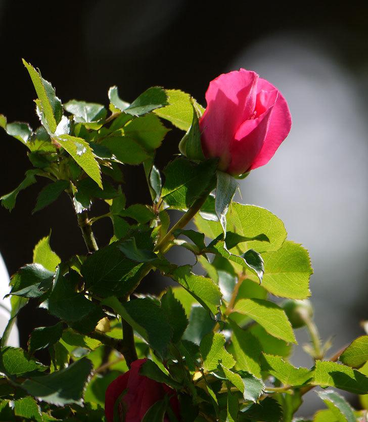ツルうらら(ツルバラ)の花が下の方でも咲きだした。2018年-12.jpg
