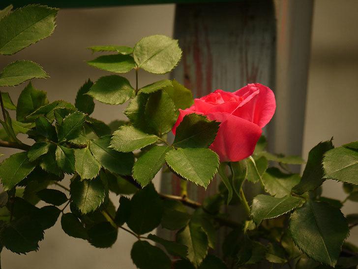 ツルうらら(ツルバラ)の花が下の方でも咲きだした。2018年-14.jpg