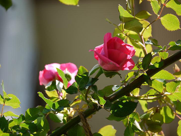 ツルうらら(ツルバラ)の花が下の方でも咲きだした。2018年-16.jpg