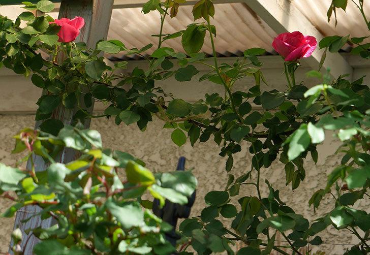 ツルうらら(ツルバラ)の花が下の方でも咲きだした。2018年-2.jpg