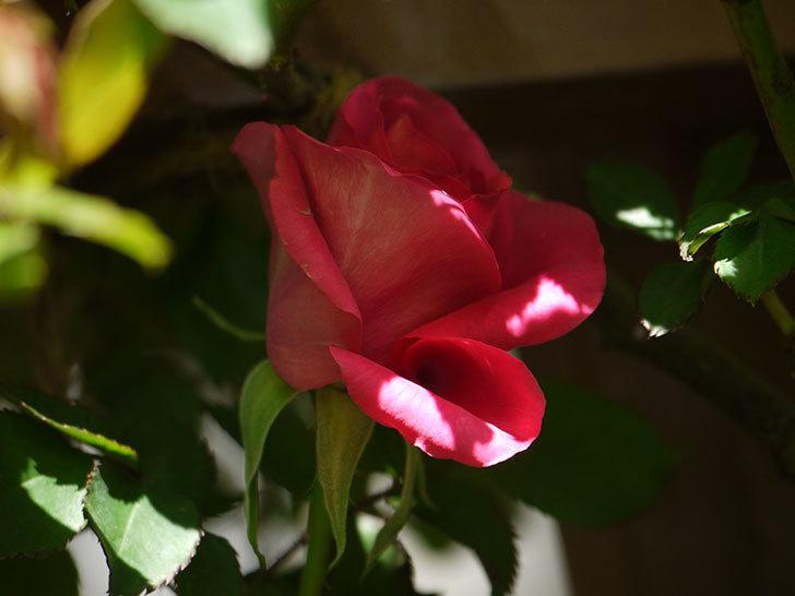 ツルうらら(ツルバラ)の花が下の方でも咲きだした。2018年-22.jpg