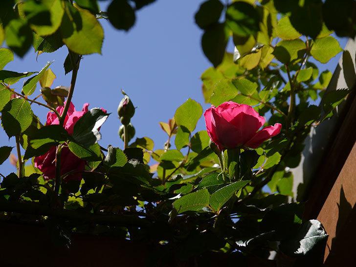 ツルうらら(ツルバラ)の花が下の方でも咲きだした。2018年-23.jpg