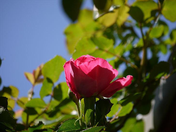 ツルうらら(ツルバラ)の花が下の方でも咲きだした。2018年-24.jpg