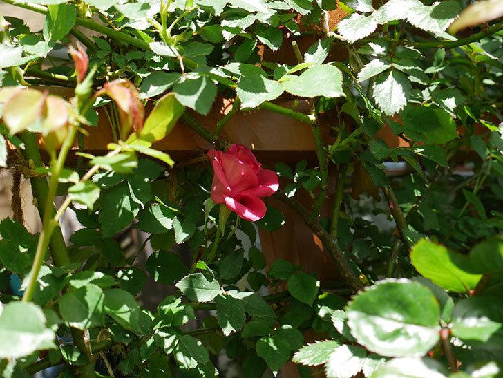 ツルうらら(ツルバラ)の花が下の方でも咲きだした。2018年-4.jpg