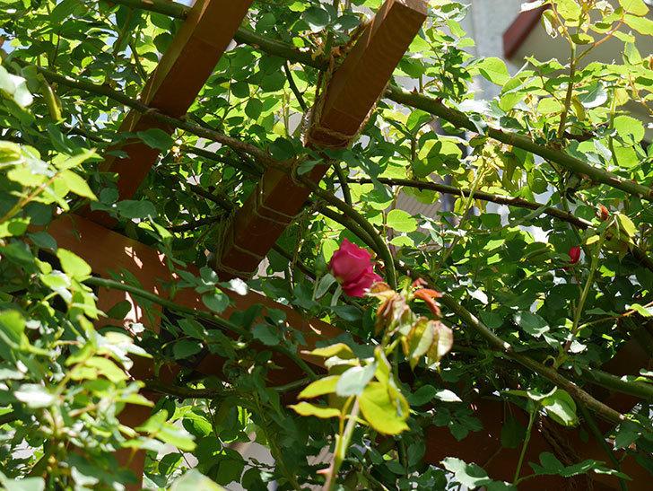 ツルうらら(ツルバラ)の花が下の方でも咲きだした。2018年-5.jpg