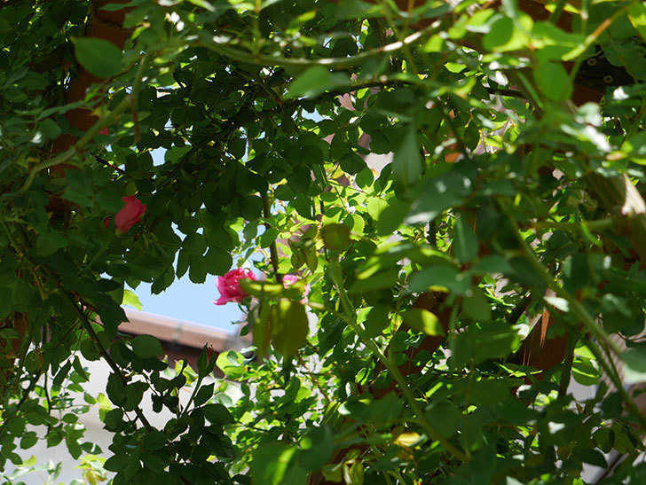ツルうらら(ツルバラ)の花が下の方でも咲きだした。2018年-6.jpg
