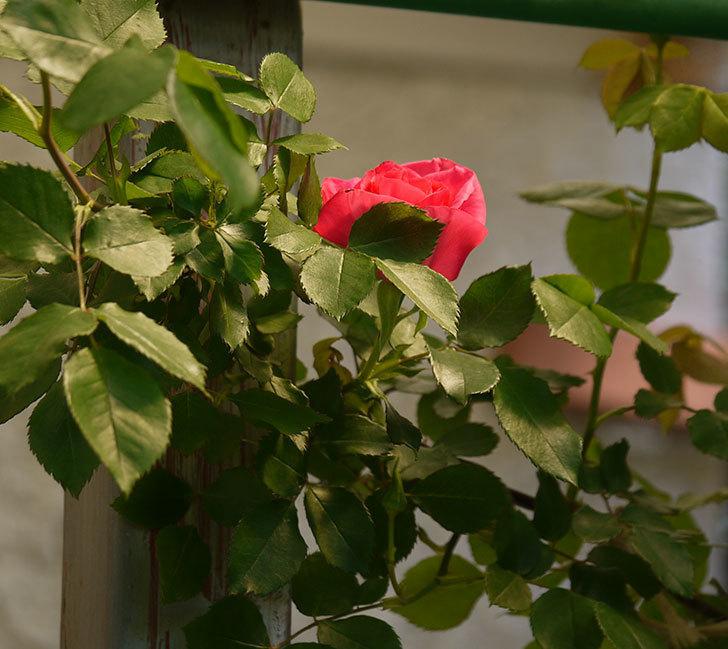 ツルうらら(ツルバラ)の花が下の方でも咲きだした。2018年-7.jpg