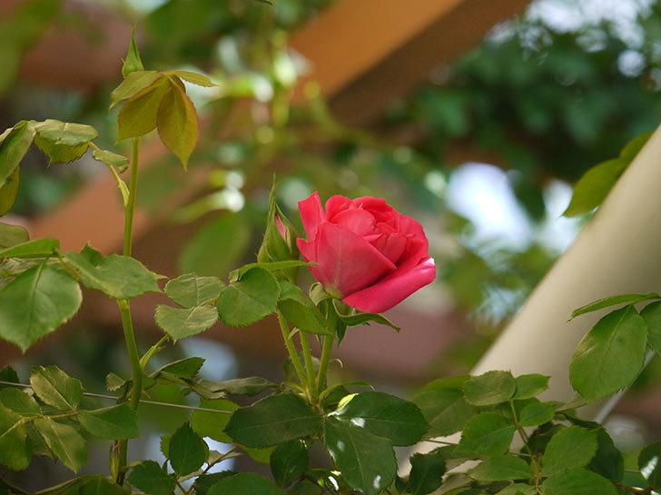 ツルうらら(ツルバラ)の花が下の方でも咲きだした。2018年-8.jpg