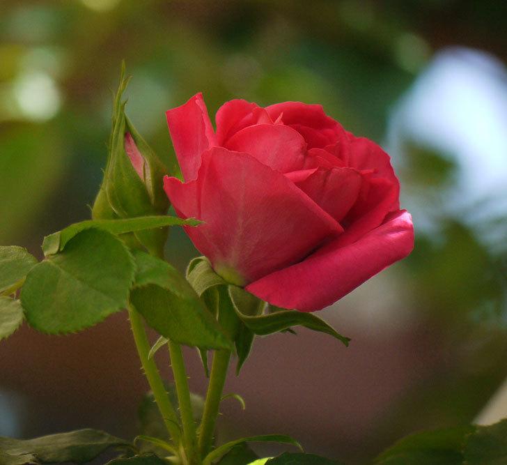 ツルうらら(ツルバラ)の花が下の方でも咲きだした。2018年-9.jpg