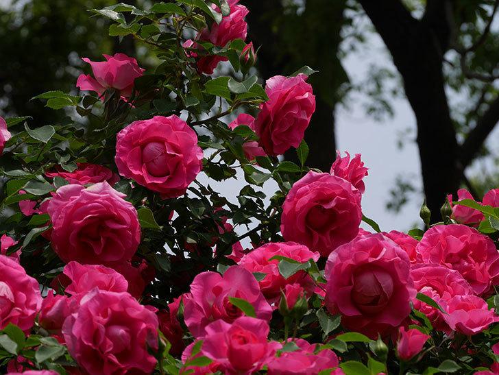 ツルうらら(ツルバラ)の花が凄くなってきた。2019年-12.jpg