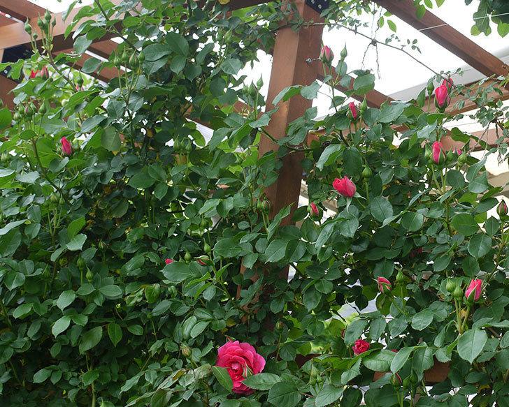 ツルうらら(ツルバラ)の花が増えてきた。2017年-11.jpg