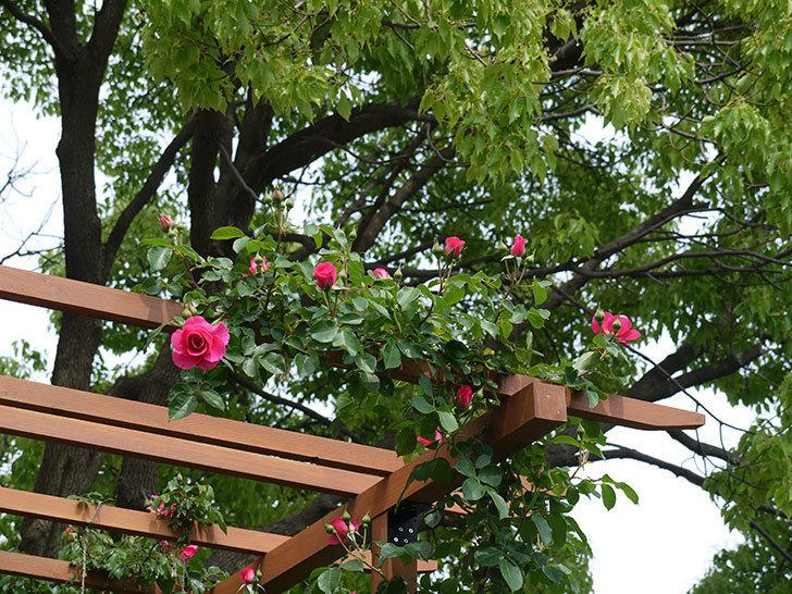 ツルうらら(ツルバラ)の花が増えてきた。2017年-13.jpg