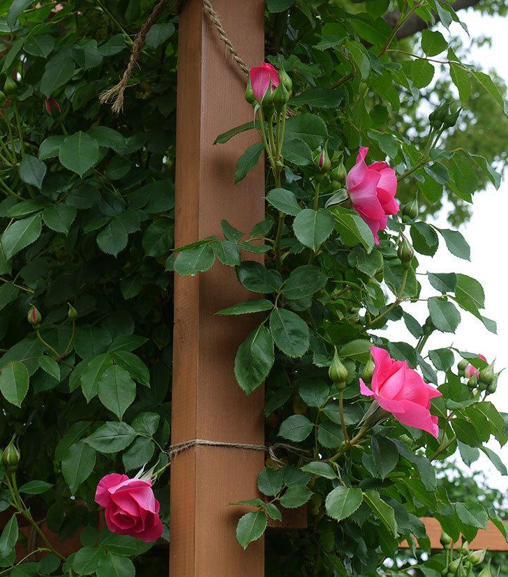 ツルうらら(ツルバラ)の花が増えてきた。2017年-14.jpg