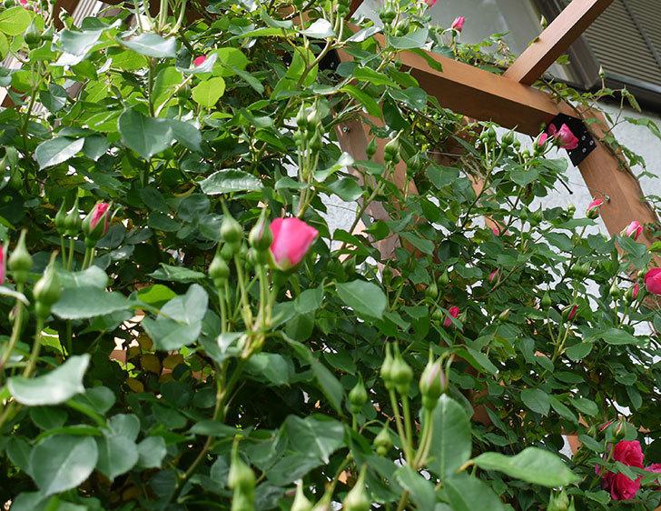 ツルうらら(ツルバラ)の花が増えてきた。2017年-17.jpg