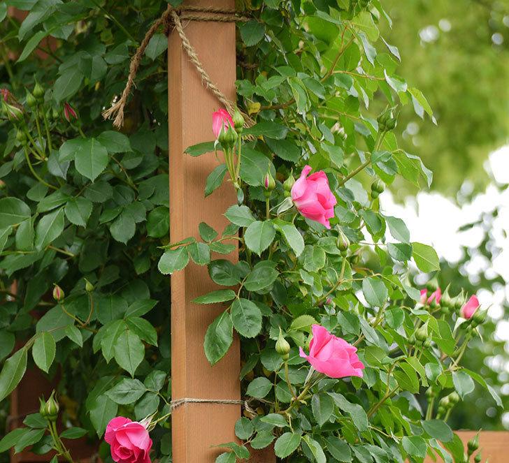 ツルうらら(ツルバラ)の花が増えてきた。2017年-5.jpg