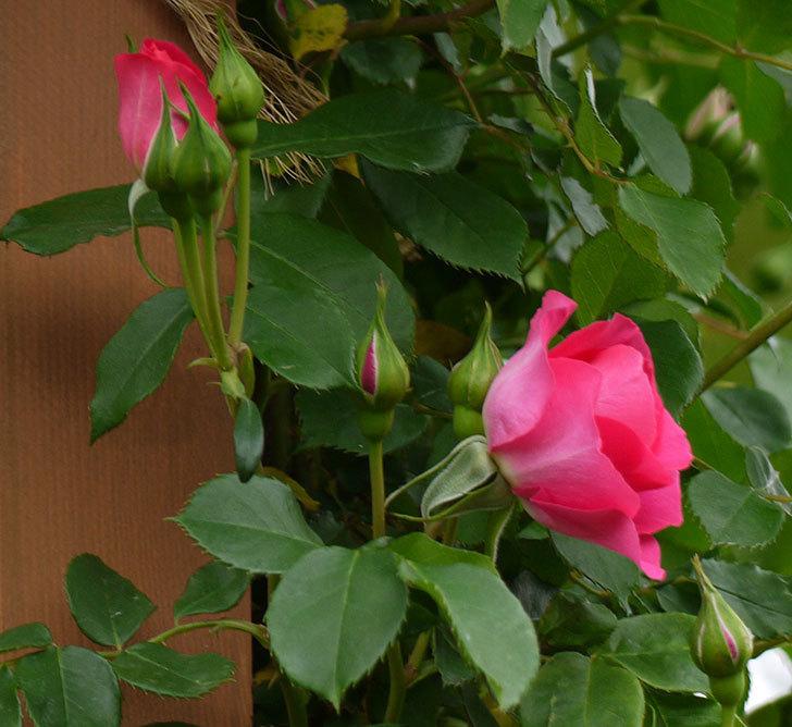 ツルうらら(ツルバラ)の花が増えてきた。2017年-6.jpg