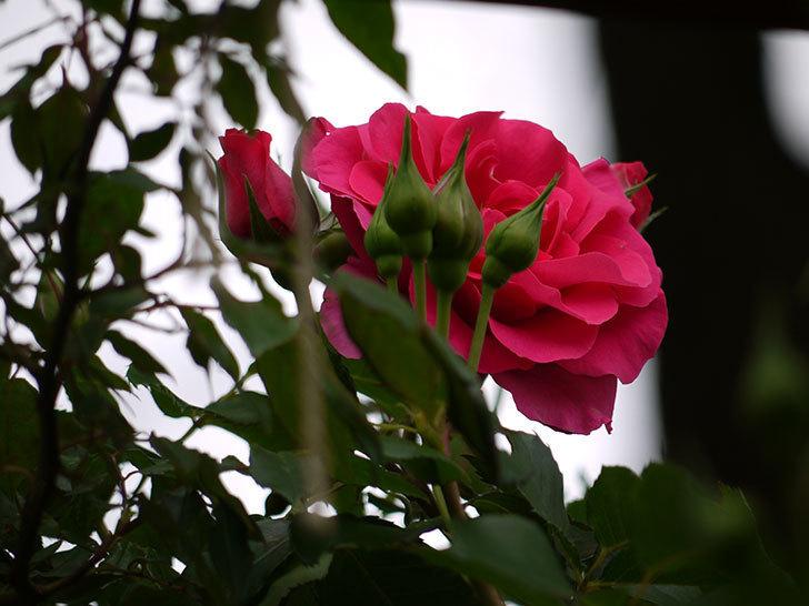 ツルうらら(ツルバラ)の花が増えてきた。2017年-7.jpg