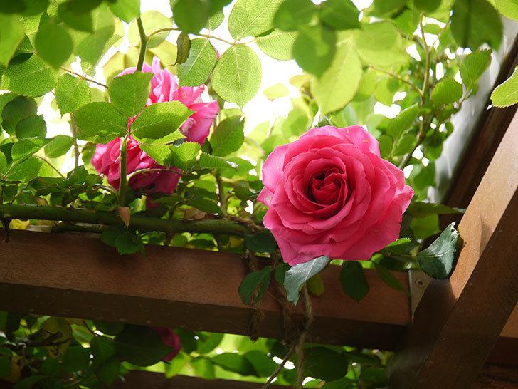 ツルうらら(ツルバラ)の花が増えてきた。2018年-3.jpg