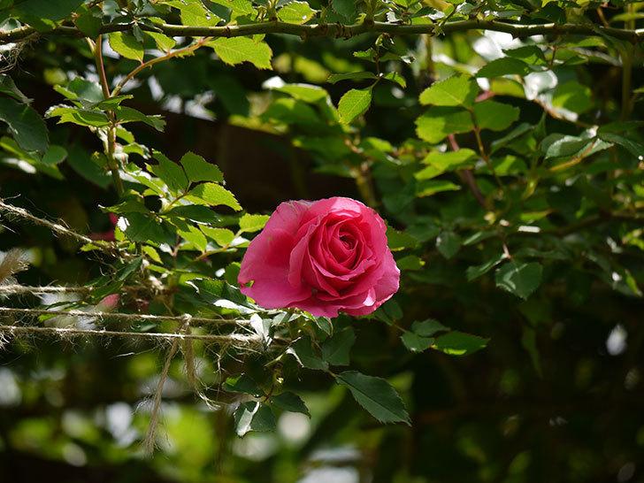 ツルうらら(ツルバラ)の花が増えてきた。2018年-8.jpg