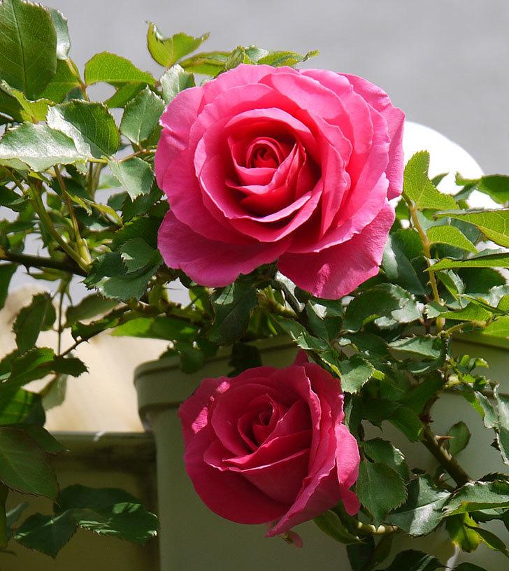 ツルうらら(ツルバラ)の花が増えてきた。2018年-9.jpg