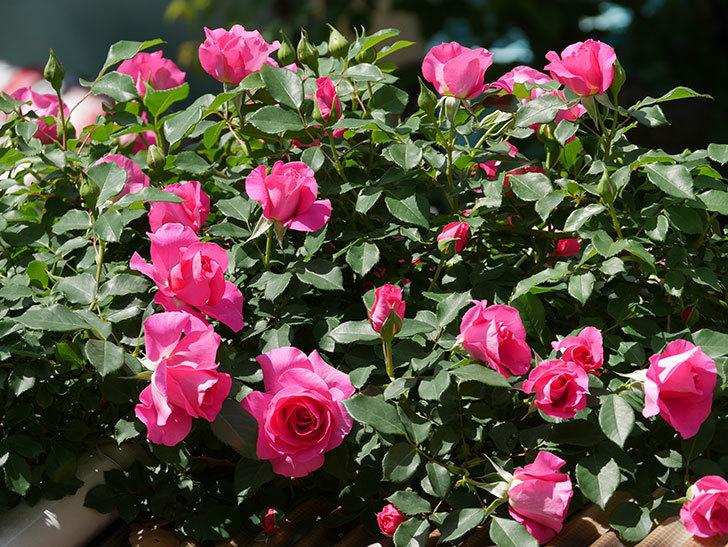 ツルうらら(ツルバラ)の花が増えて来た。2019年-1.jpg