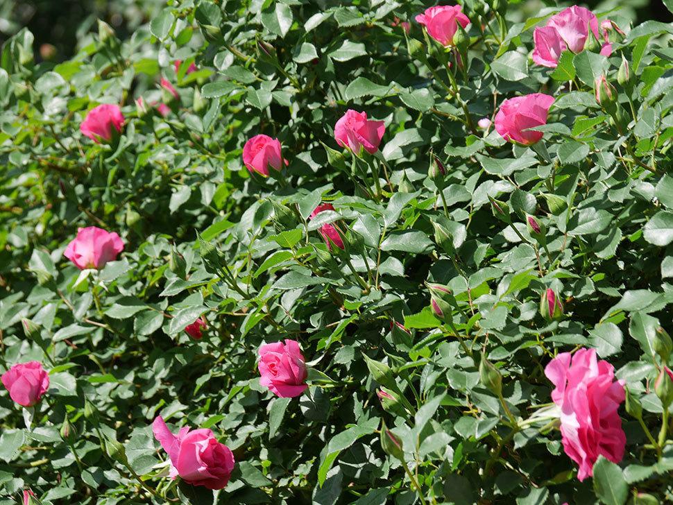 ツルうらら(ツルバラ)の花が増えて来た。2019年-11.jpg
