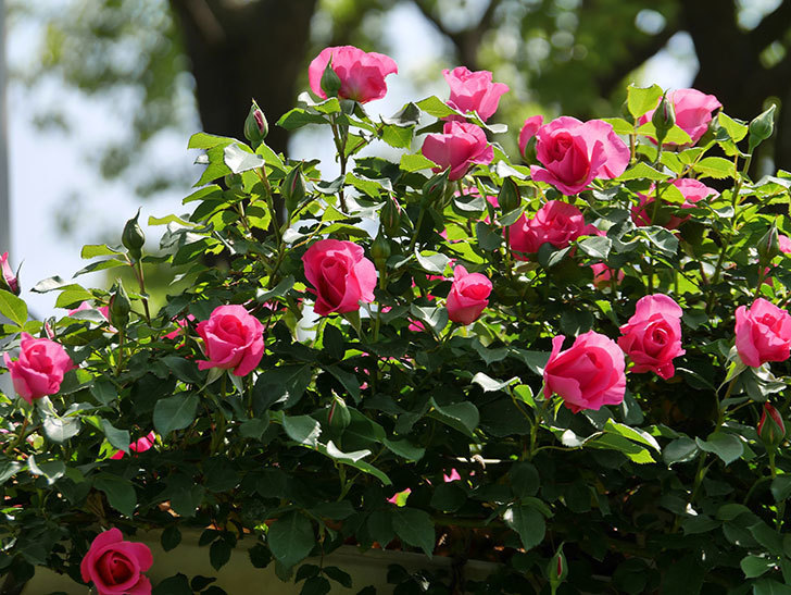 ツルうらら(ツルバラ)の花が増えて来た。2019年-15.jpg