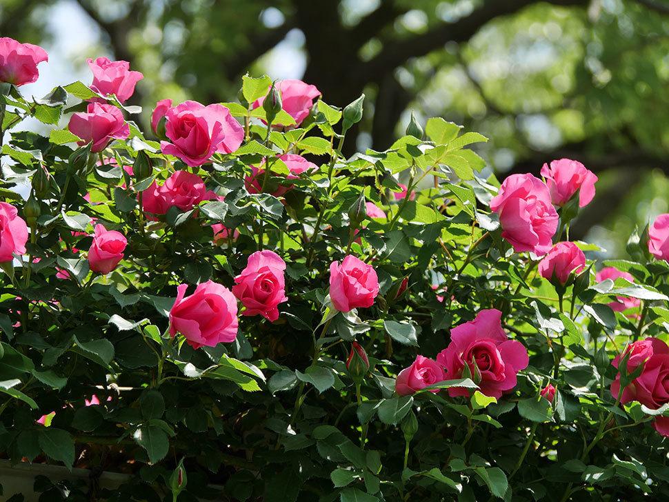 ツルうらら(ツルバラ)の花が増えて来た。2019年-16.jpg