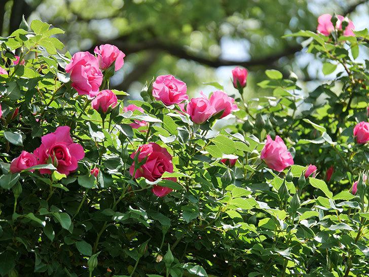 ツルうらら(ツルバラ)の花が増えて来た。2019年-17.jpg