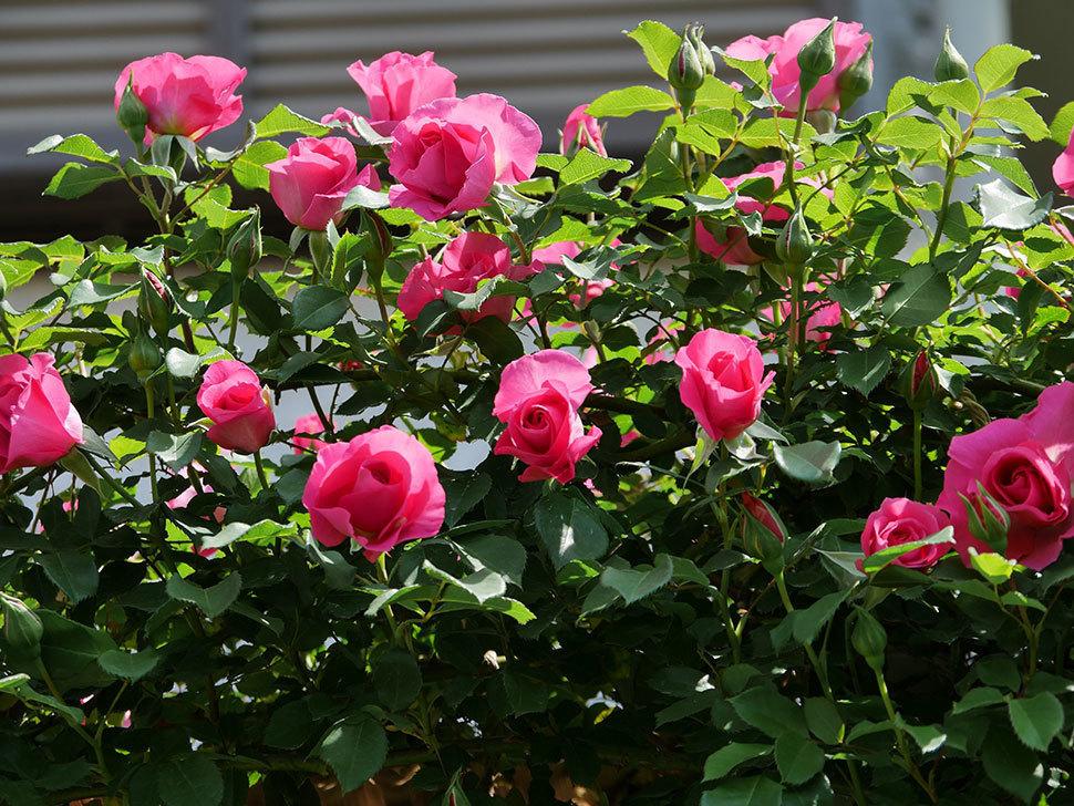 ツルうらら(ツルバラ)の花が増えて来た。2019年-24.jpg